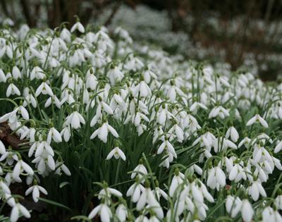 Snowdrops at Rococo Garden Painswick