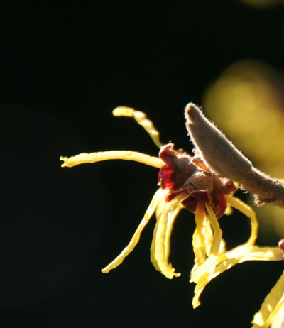 Glowing-witchhazel