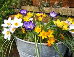 Bucket-of-crocus