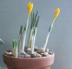 Crocus-on-my-desk
