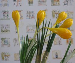 Indoor-crocus