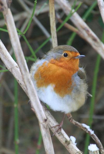 Fluffy-robin