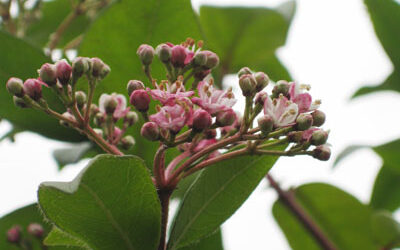 Bloom of the Week – Viburnum tinus