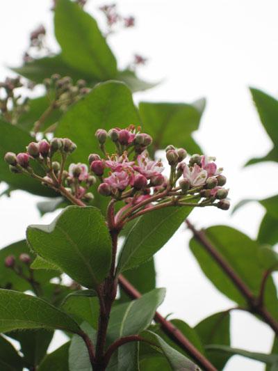 Viburnum-tinus-pink