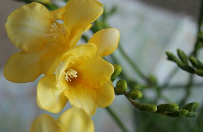 Yellow-freesia