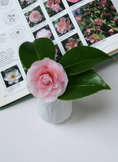 Bloom of the Week – Camellia x japonica Bonomiana
