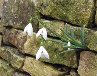 Snowdrops-in-wall