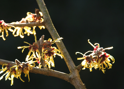 Bloom of the Week – Hamamelis