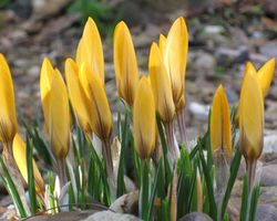 Yellow-crocus