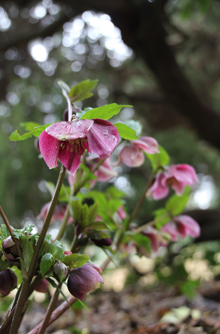 Bloom of the Week – Hellebores