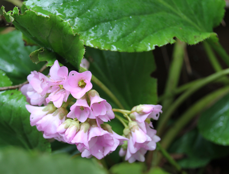 Bergenia crassifolia – Bloom of the Week