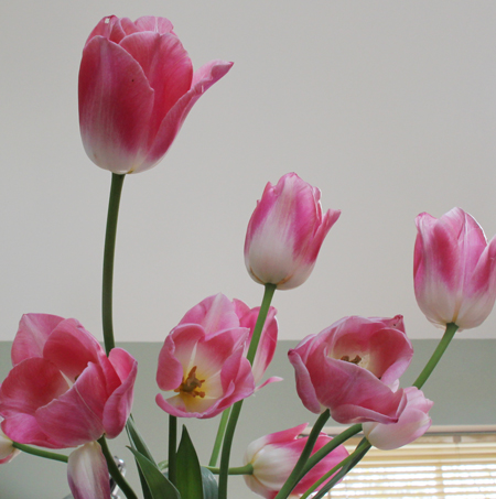 Pink-tulips-in-vase