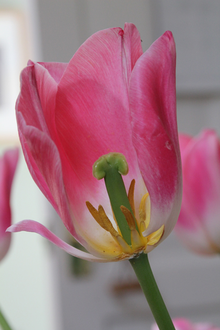 Pink-tulip-cross-section