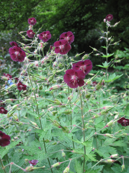 Geranium – Bloom of the Week