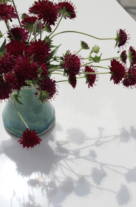 Knautia macedonica – Bloom of the Week