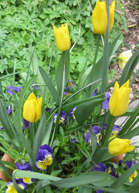 Yellow-tulips-and-pansies