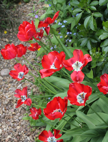 Ancient-red-tulips