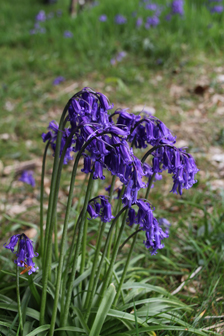 Bluebells-at-Wynds-Point