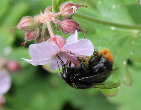 Red-tailed-bumble-bee