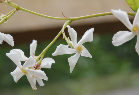 Evergreen-jasmine-flowers
