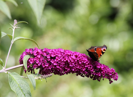 Buddleia davidii Royal Red – Bloom of the Week